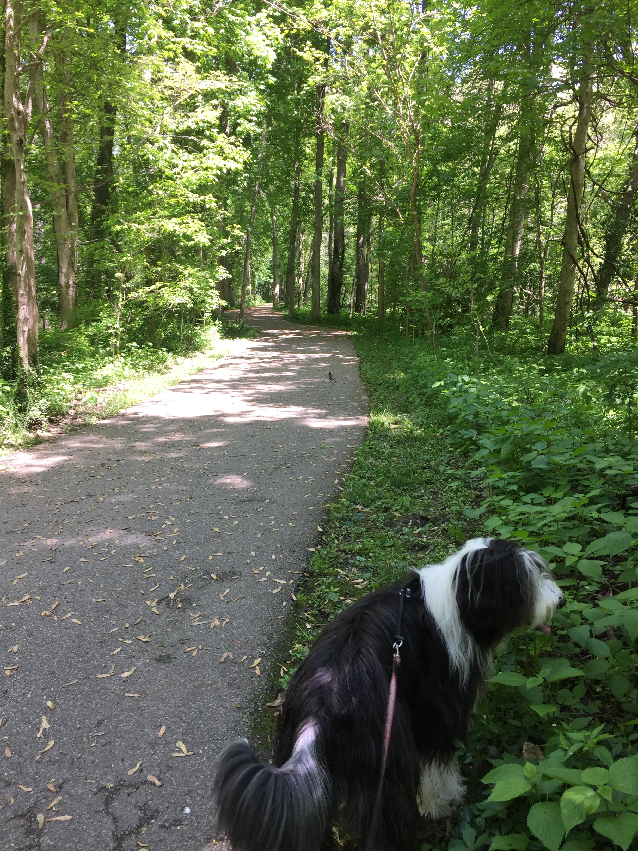 Walking the dog on a rails to trails hiking path