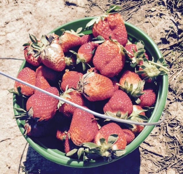 picking strawberries + road trip